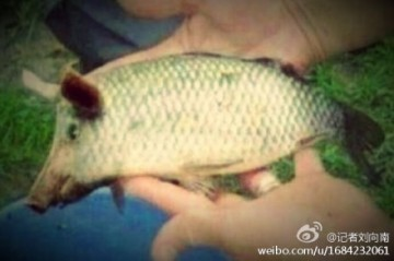 Pig fish found by man!